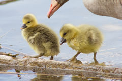 Greylag Geese (Anser Anser) with their offspring in Germany Stock Image