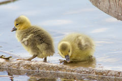 Greylag Geese (Anser Anser) with their offspring in Germany Royalty Free Stock Photography