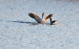 Greylag geese during courtship Stock Photos