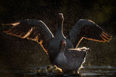 Greylag Geese Defending Goslings. Two parent greylag geese adopt threat postures while their goslings are shielded at the bottom of the frame. The male spreads Stock Photography