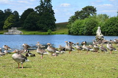 Greylag Geese by The Dog of Alcibiades, Petworth House, West Sussex, England. Royalty Free Stock Image