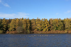 Greylag geese and fall colors Royalty Free Stock Image