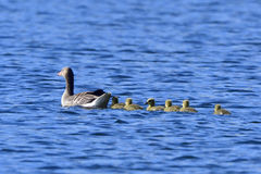 Greylag geese family. In spring swim in a lake Royalty Free Stock Photos