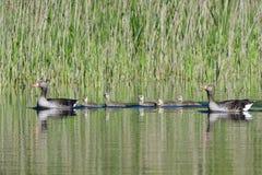 Greylag geese family Royalty Free Stock Photos
