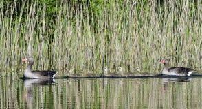 Greylag geese family Stock Photo
