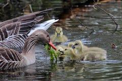 Greylag geese feeding goslings Royalty Free Stock Image
