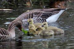 Greylag geese feeding goslings Royalty Free Stock Photos