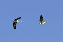 Greylag geese in flight Stock Images