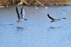 Greylag Geese in flight Stock Image