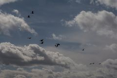 Greylag Geese in Flight Royalty Free Stock Images