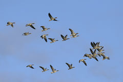 Greylag Geese in flight Royalty Free Stock Image