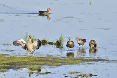 Greylag geese Stock Image