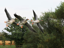 Greylag Geese. Royalty Free Stock Image