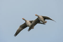 Greylag Geese in Flight. Royalty Free Stock Image