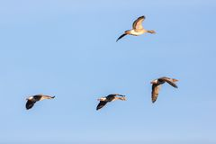 Greylag Geese flying Stock Images