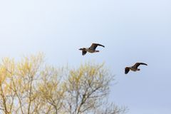 Greylag geese flying Royalty Free Stock Photography