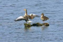 Greylag geese Stock Photo