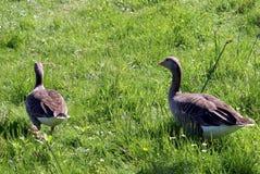 Greylag geese Royalty Free Stock Photo