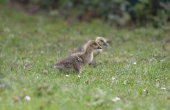 Greylag geese goslings Stock Image