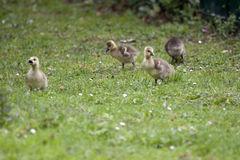 Greylag geese goslings Stock Images