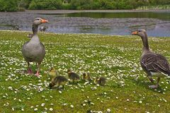 Greylag Geese & Goslings. A family of Geese - Greylag Geese with five Goslings Stock Photography