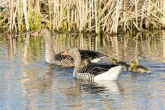 Greylag Geese with goslings Stock Photography