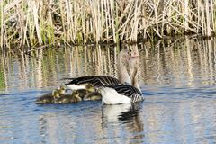 Greylag Geese with goslings Stock Photos