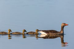 Greylag geese with goslings in a row Royalty Free Stock Photo