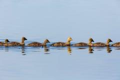 Greylag geese goslings swim Stock Image