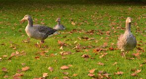 Greylag geese grass autumn leaves Stock Photography