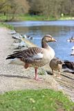 Greylag Geese Stock Photography