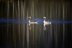 Greylag Geese on Lake Stock Image