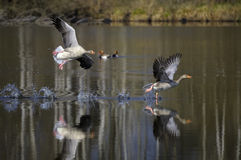 Greylag Geese Landing in Lake Royalty Free Stock Photography