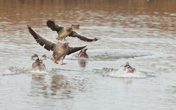 Greylag Geese landing on water Royalty Free Stock Images
