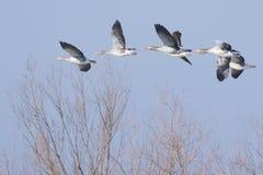 Greylag geese and Mallard Ducks. Greylag geese in flight with Mallard Ducks Stock Images