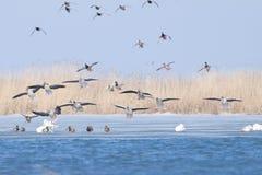 Greylag geese and Mallard Ducks. Greylag geese in flight with Mallard Ducks Royalty Free Stock Photo