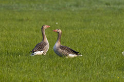 Greylag geese in meadow  Royalty Free Stock Image