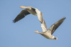 Greylag geese migrating Royalty Free Stock Images