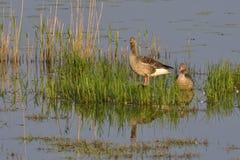 Greylag geese Royalty Free Stock Image