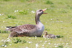 Greylag Geese. Mother goose protecting her sleeping babies Stock Photography