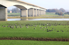 Greylag geese near New Bridge of Zutphen, Holland Stock Photography