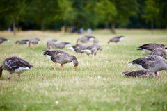 Greylag geese in the park Stock Photography