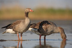 Greylag Geese. The picture was taken in Hungary Stock Photography