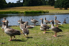 Greylag and Geese by Pond, Petworth House, West Sussex, England. Stock Images