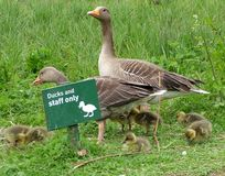 Greylag Geese and seven ducklings. Greylag goose family obeying the rules stock images