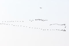 Greylag geese in the sky Royalty Free Stock Image