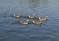 Greylag geese swimming in formation. Royalty Free Stock Photos