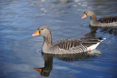 Greylag Geese swimming on a lake Royalty Free Stock Images