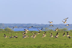 Greylag geese taking off Stock Images