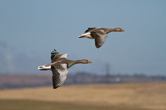 Greylag Geese. Two Wild Greylag Geese in Flight Stock Photos